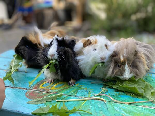 Our COVID project to keep the kids entertained during lockdown at home: four new guinea pig girls for our four girls